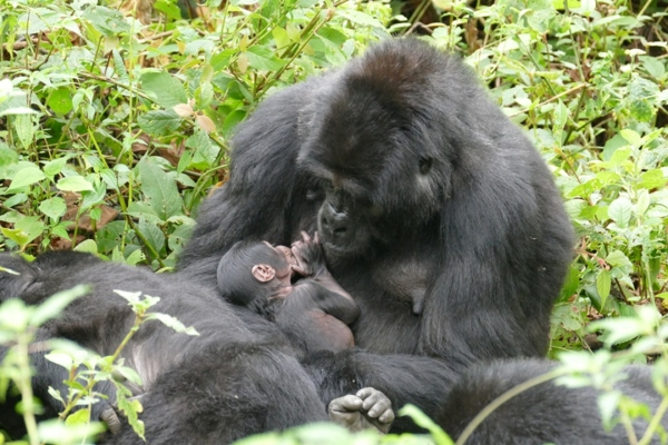GW researchers are involved in a new collaborative study that aims to characterize variability in weaning in African great apes. (Photo credit: Martha M. Robbins)