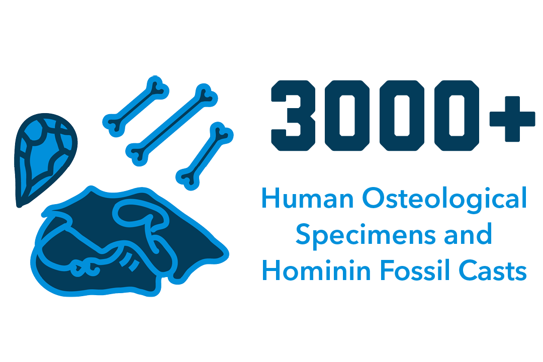 3000+ Human Osteological Specimens and Hominin Fossil Casts