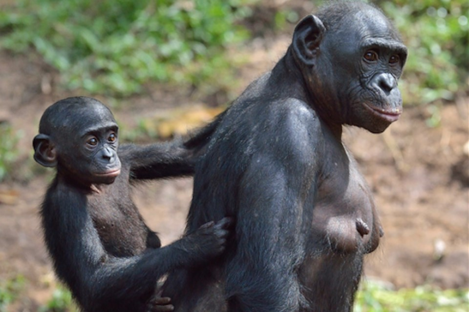 Bonobos (shown here) and chimpanzees shared a last common ancestor with humans 6-8 million years ago